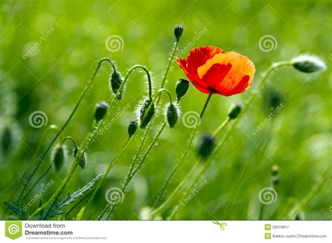 poppy bloom time 28 best poppy bloom time bloom red poppy field by heiko koehrer wagner poppy flowers