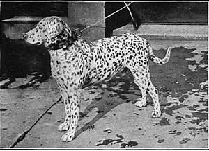 Freckled Dalmatian | Natural History