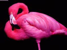 meilleures images du tableau flamingos flamant rose