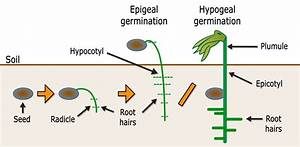 Epigeal Germination