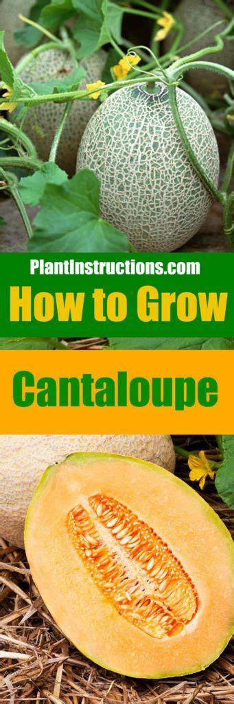 how to grow cantaloupe how to grow cantaloupe plant instructions