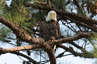 Nbg Eagle Bald Eagles Male