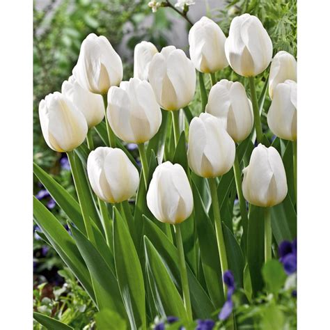 top 28 tulip bulbs tulip bulbs item 1272 sorbetto for
