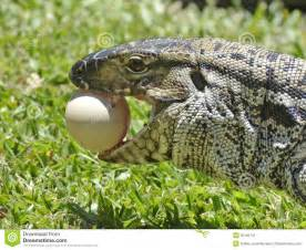 Lizards Eating Chicken Eggs
