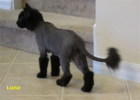 cat hair styles google search cats pinterest cats