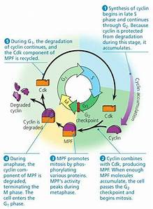 Can A Cell Start A Mitosis If It Lacks Energy Or Molecules
