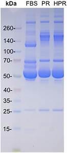 Molecular Weight Protein Markers  A   Fetal Bovine Serum  Fbs  B