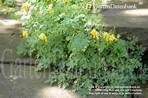 Unkraut Zwischen Steinen : gelber lerchensporn bilder fotos pseudofumaria lutea ~ Michelbontemps.com Haus und Dekorationen