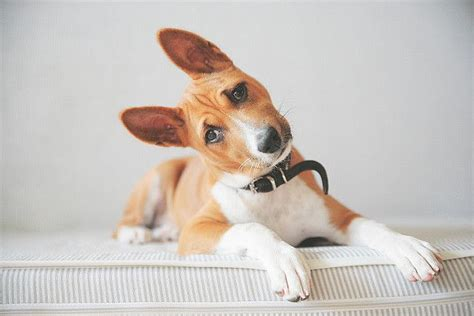 Best 25+ Basenji Dogs Ideas On Pinterest