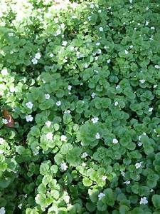 Bacopa – The Smarter Gardener