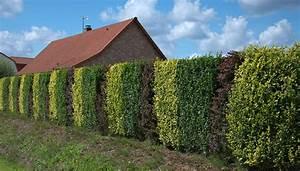 Haie Pas Cher Qui Pousse Vite : haie de jardin qui pousse vite le saule beautiful la ~ Premium-room.com Idées de Décoration