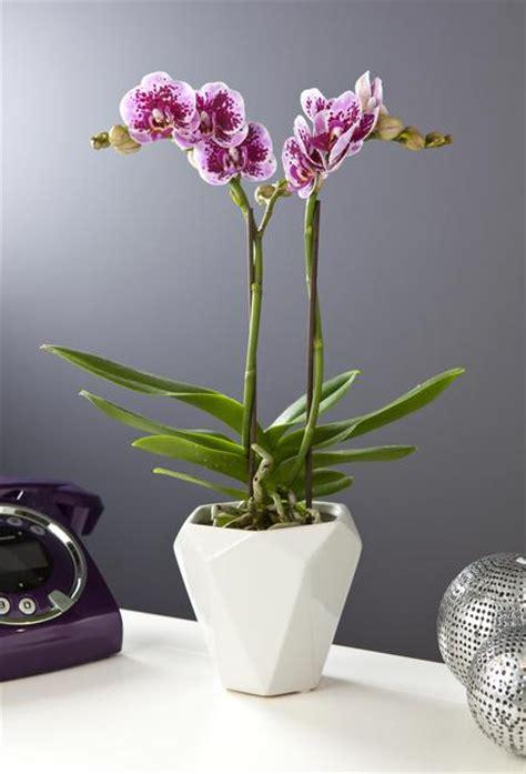 orchid 233 e papillon avec cache pot villaverde