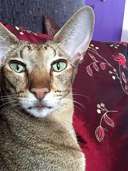 Natural Beauty Oriental Cat Shorthair Gifs Kitty