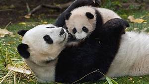 Wallpaper great panda, cub, caring, panda, mother desktop ...