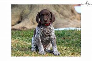 German Shorthaired Pointer For Free 44 Widescreen ...
