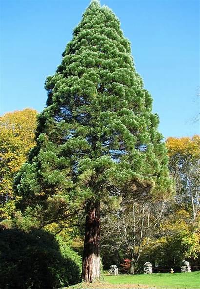 Tree Trees Giant Biggest Got Register Score