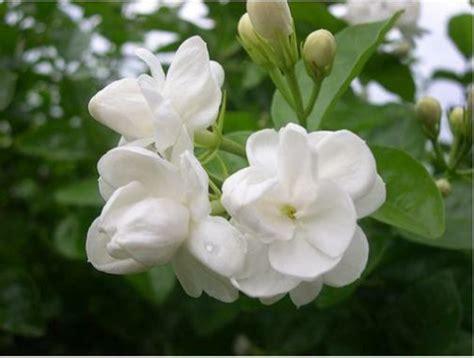 die jasmin pflanze verbreitet schoene duefte zu hause