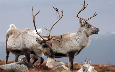 Reindeer Wallpaper Hd by Reindeer Wallpaper 183 Wallpapertag