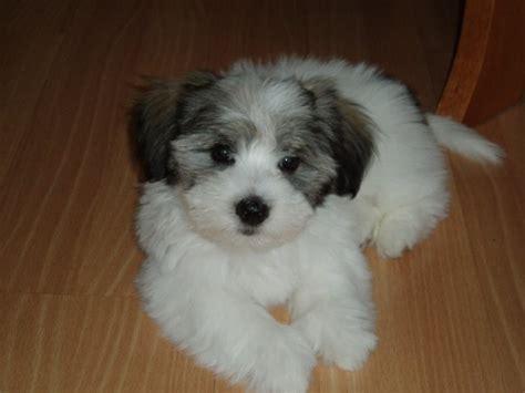 Berkastricolor Coton Puppy Jpg Bahasa
