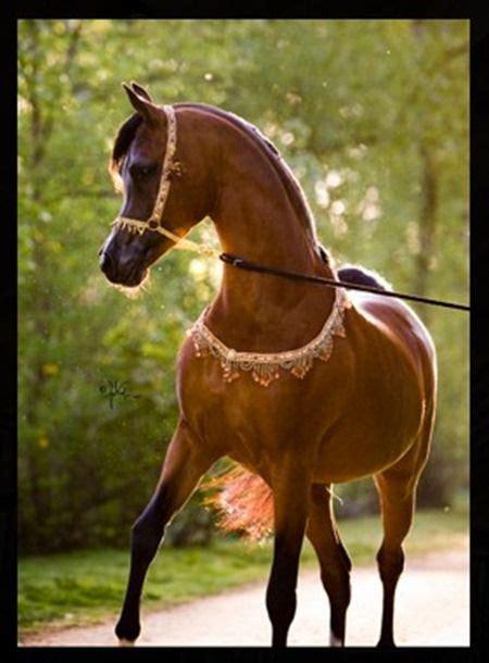 horses most horse arabian pretty pouted animals belgian stallions worlds brown pearls stallion magazine stylish enjoyed updates email animal majestic