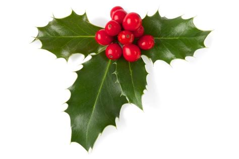 christmas plants images holly virginia green lawn care company