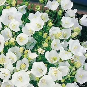 Weiß Blühende Stauden : zwergglockenblume wei von garten schl ter auf kaufen ~ Markanthonyermac.com Haus und Dekorationen