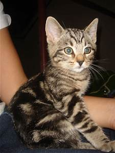 Gallery For > Bengal Tabby Mix Kitten