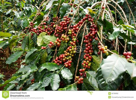 Download coffee tree stock photos. Coffee Tree With Red Bean Stock Photography - Image: 35769062