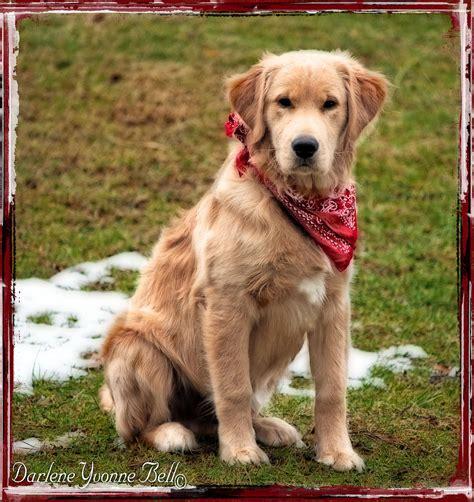 Retriever Puppy In Red Bandana Photograph By Darlene Bell