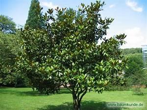 Immergrüne Sträucher Und Bäume : immergr ne magnolie magnolia grandiflora habitus ~ Michelbontemps.com Haus und Dekorationen