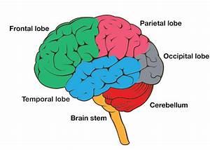 Brain And Arteries