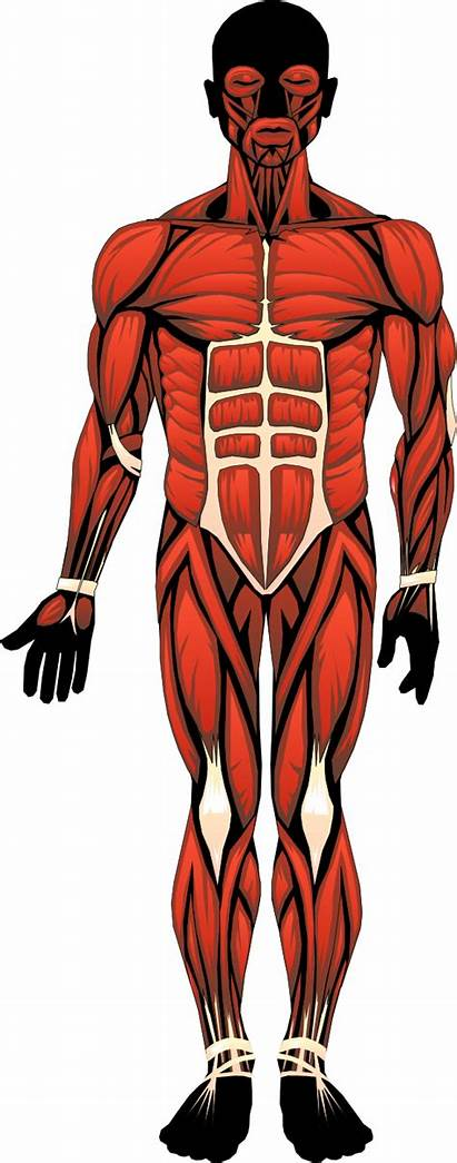 Anatomy Clipart Muscles Human Clip Anatomical Skeleton