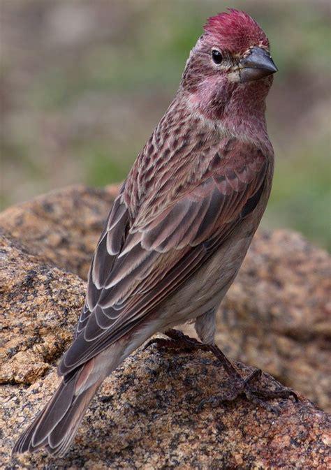 cassins finch san diego bird spot