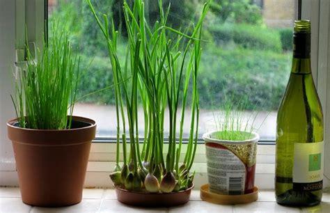 How To Grow Garlic Indoors  Growing Garlic Indoors