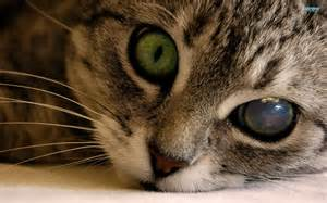 cat eye problems eye and respiratory problems in your cat