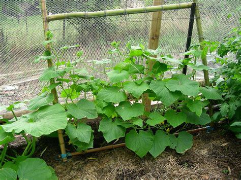 Gurken Anpflanzen Anbauen, Pflegen Und Lagern Plantura