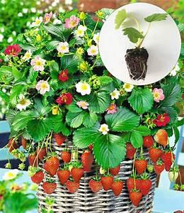 Hängepflanzen Für Balkonkästen : h nge erdbeere 39 flower berry 39 top qualit t kaufen ~ Michelbontemps.com Haus und Dekorationen