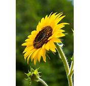 Factors Affecting Sunflower Pollination  Home Guides SF