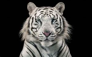 White Tiger Bengal Tiger Wallpapers | HD Wallpapers | ID ...