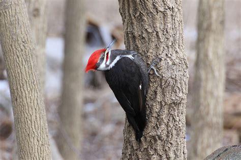 listen  woodpeckers making  winter homes  fall