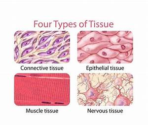 Connective Tissue Is A Group Of Tissues In Our Bodies Whi