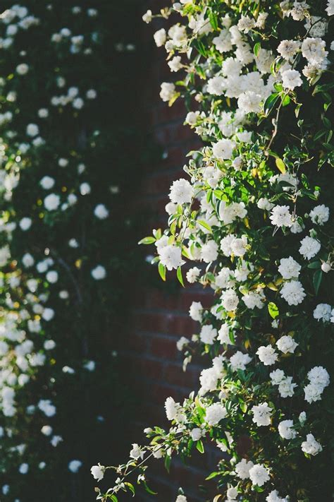 Climbingwhiteflowers  Everything Growing Pinterest