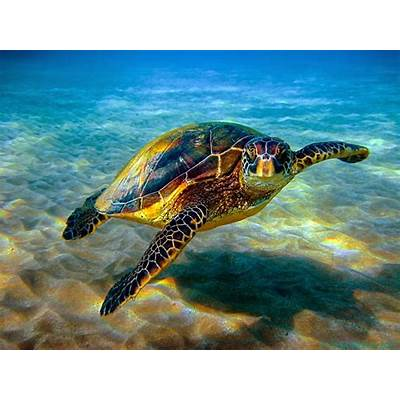The Hawksbill Turtle - SNSH