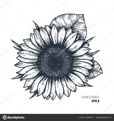 sunflower vintage engraved illustration sunflower isolated vector illustration stock vector