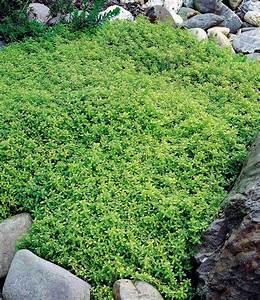 Pflanzen Immergrün Winterhart : zitronenthymian pflanzen pinterest garten pflanzen und selbstversorger garten ~ Markanthonyermac.com Haus und Dekorationen