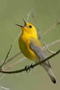 Yellow Birds Central Texas