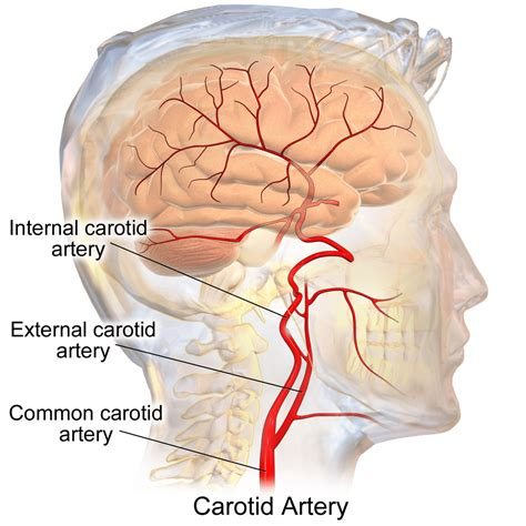 Either the external or internal carotid being absent. How Many Carotid Arteries In The Neck / Right Common ...