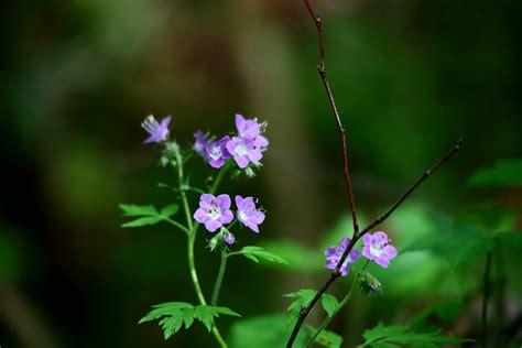 File:Blue-forest-flowers - West Virginia - ForestWander ...