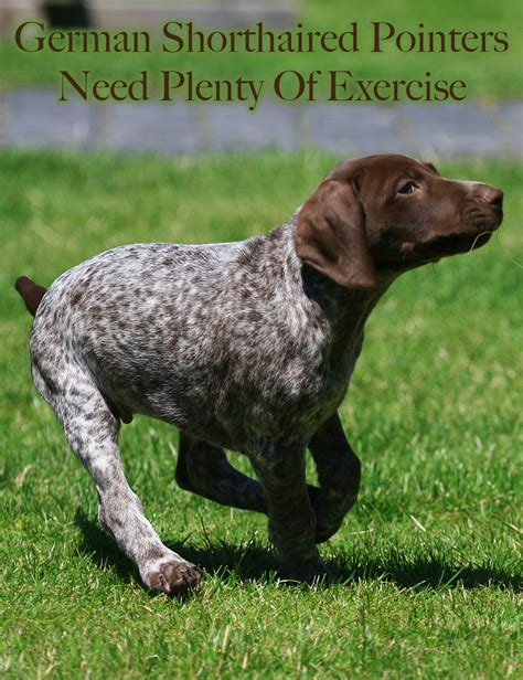 German Shorthaired Pointer - The Happy Puppy Site