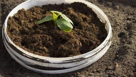Gurķu audzēšana spaiņos - praktiski un ērti - DELFI